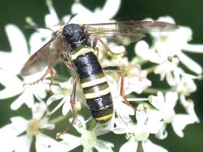 Tenthredo vespa-scophulariae [Famille : Tenthredinidae]