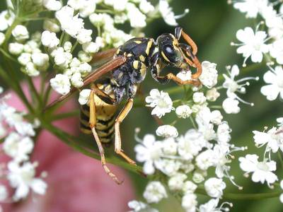 Polistes gallicus [Famille : Vespidae]