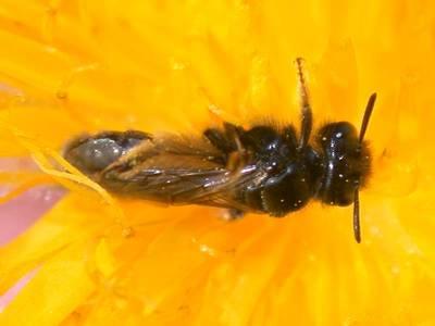 Panurgus calcaratus [Famille : Apidae]