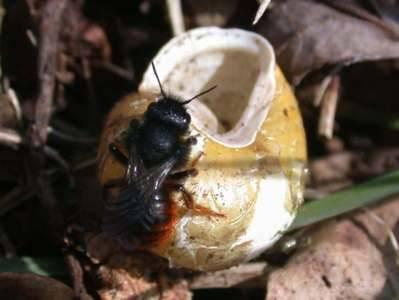 Osmia bicolor [Famille : Apidae]