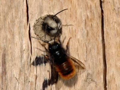 Osmia cornuta [Famille : Apidae]