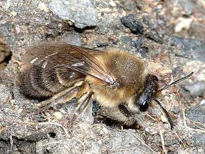 Colletes cunicularius [Famille : Apidae]