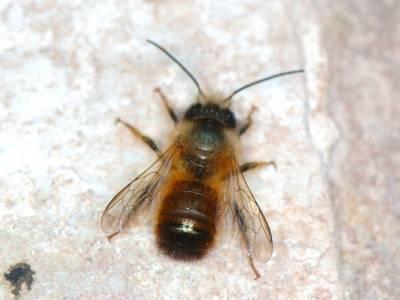 Osmia rufa [Famille : Apidae]