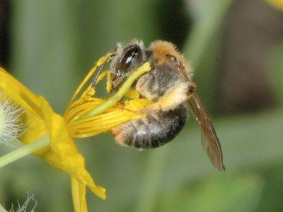 Andrena haemorrhoa [Famille : Apidae]