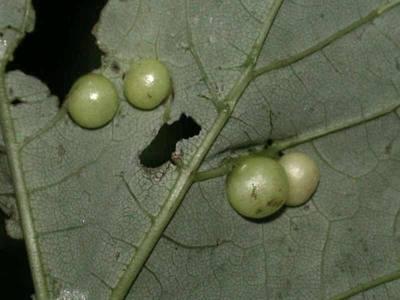 Pediaspis aceris [Famille : Cynipidae]