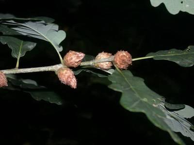 Andricus fecundator [Famille : Cynipidae]