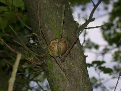 Biorhiza pallida [Famille : Cynipidae]