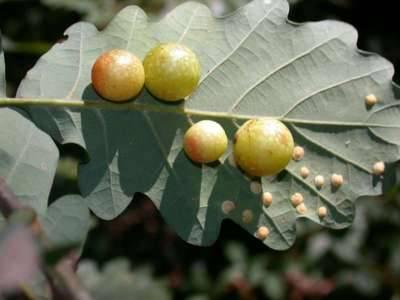 Cynips quercusfolii [Famille : Cynipidae]
