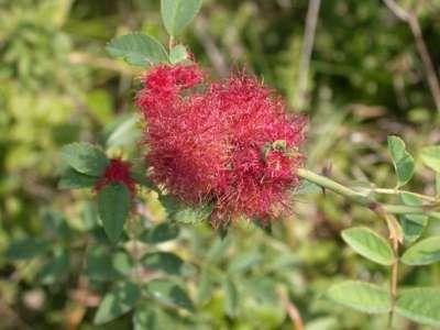 Diplolepis rosae [Famille : Cynipidae]
