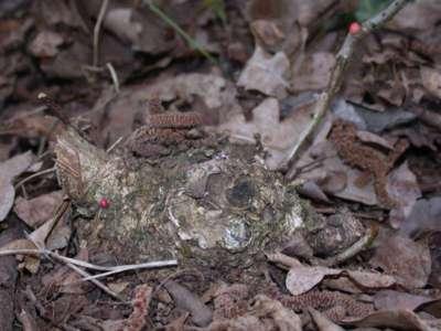 Trigonaspis megaptera [Famille : Cynipidae]