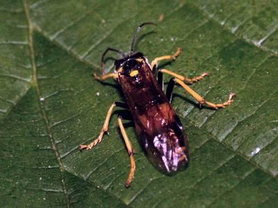 Tenthredo maculata [Famille : Tenthredinidae]