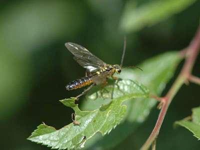 Tenthredopsis species -3- [Famille : Tenthredinidae]
