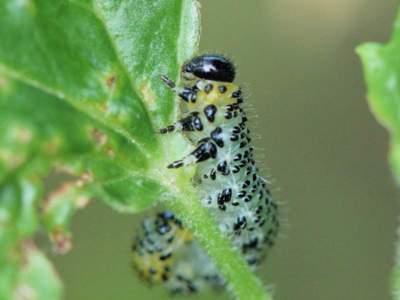 Nematus ribesii [Famille : Tenthredinidae]