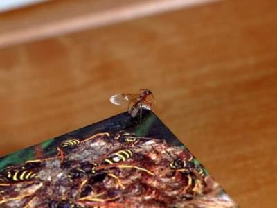 Myrmica species [Famille : Formicidae]