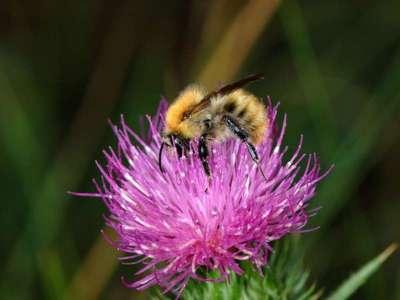 Bombus pascuorum [Famille : Apidae]