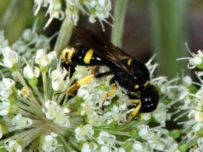 Ectemnius continuus [Famille : Crabronidae]