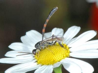 Gasteruption species [Famille : Gasteruptiidae]