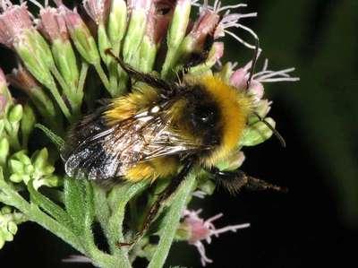 Bombus hortorum [Famille : Apidae]