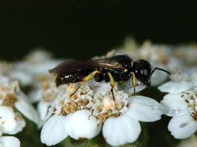 Lindenius species [Famille : Crabronidae]
