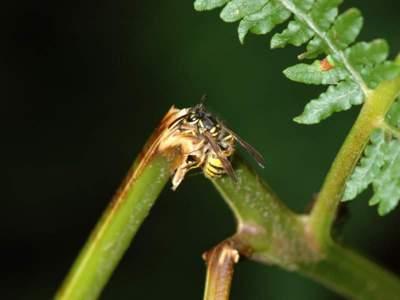Vespula germanica [Famille : Vespidae]