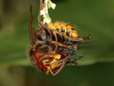 Vespa crabro [Famille : Vespidae]