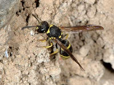 Ancistrocerus species [Famille : Vespidae]