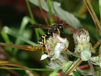 Polistes biglumis [Famille : Vespidae]