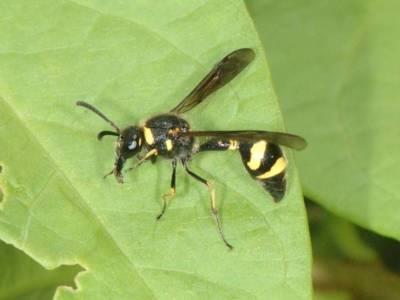 Eumenes species [Famille : Vespidae]