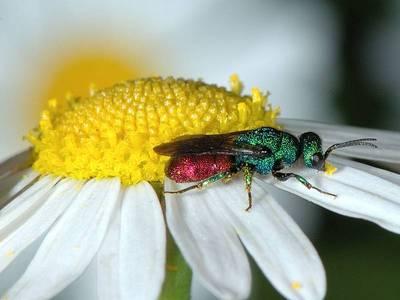 Chrysis species [Famille : Chrysididae]