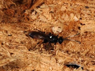 Ichneumon bucculentus [Famille : Ichneumonidae]