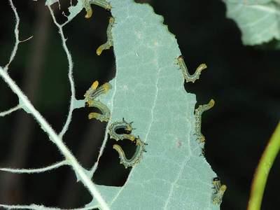 Croesus species [Famille : Tenthredinidae]