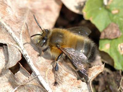 hôte : Anthophora plumipes