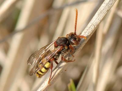 Nomada ruficornis [Famille : Apidae]