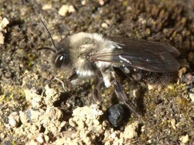 Andrena vaga [Famille : Apidae]