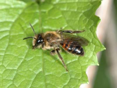 Andrena florea [Famille : Apidae]