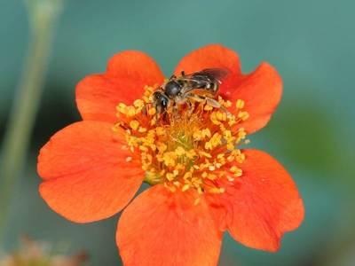 Lasioglossum calceatum [Famille : Apidae]