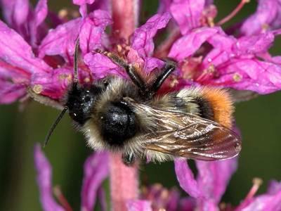 Bombus rupestris [Famille : Apidae]