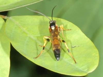 Ichneumon xanthorius [Famille : Ichneumonidae]