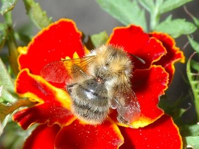 Bombus pascuorum ssp floralis [Famille : Apidae]
