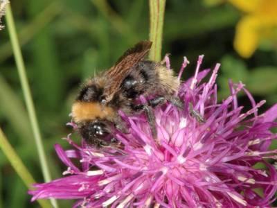Bombus campestris [Famille : Apidae]