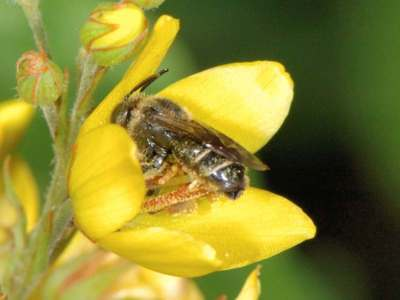 Macropis europaea [Famille : Apidae]