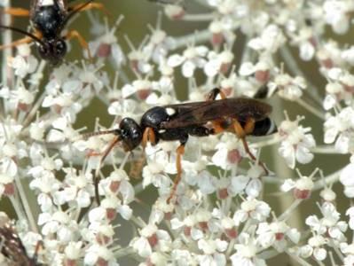 Ichneumon sarcitorius [Famille : Ichneumonidae]
