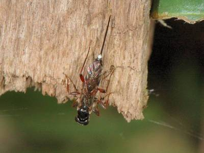 Cryptinae -  taxon indéterminé 02 [Famille : Ichneumonidae]