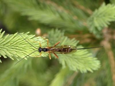 Coleocentrus excitator [Famille : Ichneumonidae]