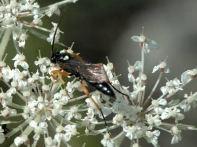 Ctenichneumon inspector [Famille : Ichneumonidae]