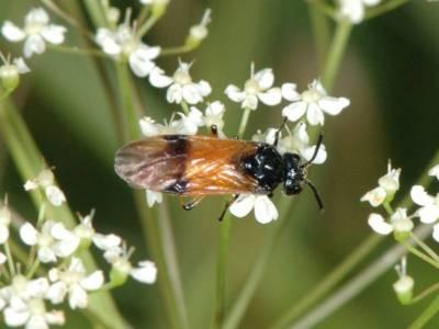 Arge cyanocrocea [Famille : Argidae]