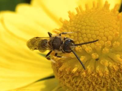 Lasioglossum species [Famille : Apidae]