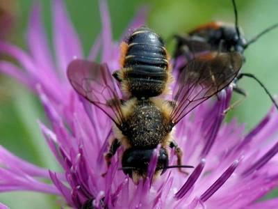Megachile versicolor [Famille : Apidae]