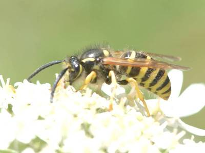 Dolichovespula sylvestris [Famille : Vespidae]
