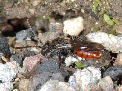 Nomada fabriciana [Famille : Apidae]